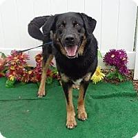 Adopt A Pet :: Loki - Sudbury, MA