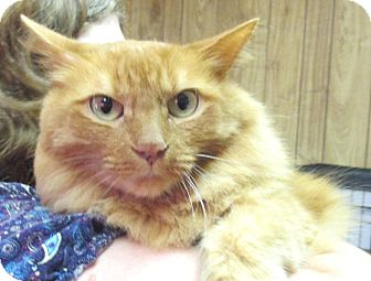 Domestic Longhair Cat for adoption in Reeds Spring, Missouri - Wallace