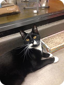 Domestic Shorthair Cat for adoption in San Leandro, California - Mischief