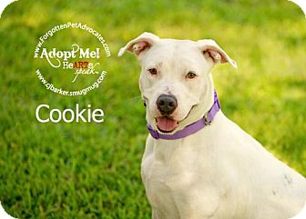 American Bulldog/Hound (Unknown Type) Mix Dog for adoption in Pearland, Texas - Cookie