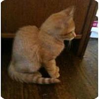 Domestic Shorthair Kitten for adoption in Fayetteville, Georgia - Hobbs