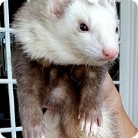 Ferret for adoption in Brandy Station, Virginia - ZEUS & NOODLE & STRUDEL