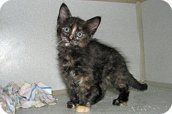 Domestic Shorthair Kitten for adoption in Ruidoso, New Mexico - Kansa