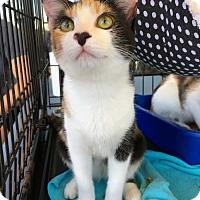 Adopt A Pet :: Olivia - Marina del Rey, CA