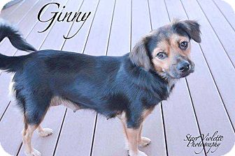 Shepherd (Unknown Type) Mix Dog for adoption in Allen, Texas - Ginny