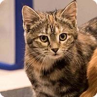 Adopt A Pet :: Missey- Kitten - Harrisburg, PA