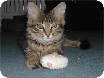 Domestic Shorthair Kitten for adoption in cincinnati, Ohio - Fabulous FLUFFS