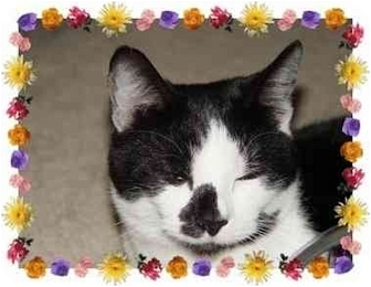 Domestic Shorthair Cat for adoption in KANSAS, Missouri - Moo Moo