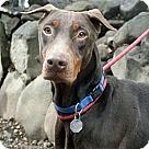 Adopt A Pet :: Chili