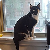 Adopt A Pet :: Samcat - Chicago, IL