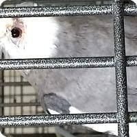 Adopt A Pet :: Snowflake - Punta Gorda, FL