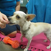 Chihuahua Mix Dog for adoption in Fresno, California - She-Ra