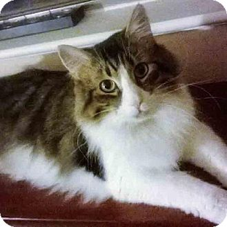 Domestic Mediumhair Cat for adoption in Arlington, Virginia - Pockets