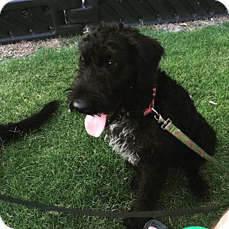 Airedale Terrier/Wirehaired Pointing Griffon Mix Puppy for adoption in ...