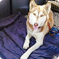 Adopt A Pet :: Olivia - Van Nuys, CA