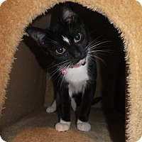 Domestic Shorthair Cat for adoption in Norwich, New York - Lyra