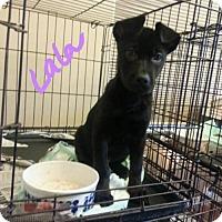 Adopt A Pet :: Lala - Aurora, CO