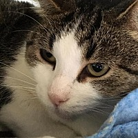 Domestic Shorthair Cat for adoption in Bourbonnais, Illinois - Charlotte
