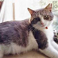 Domestic Shorthair Cat for adoption in Merrifield, Virginia - Random