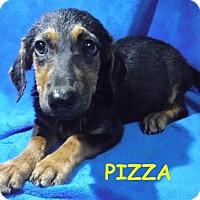 Adopt A Pet :: Pizza - Batesville, AR