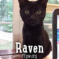 Adopt A Pet :: Raven - Merrifield, VA