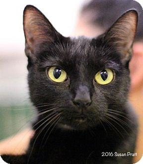 Domestic Shorthair Cat for adoption in Bedford, Virginia - Shandy