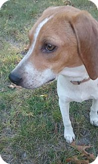 Beagle Puppy for adoption in Shelter Island, New York - Ducky