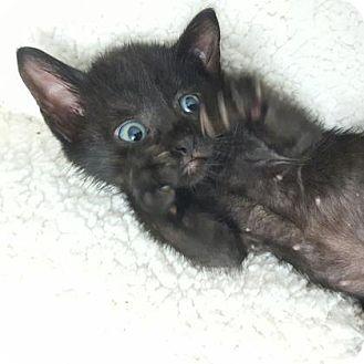 Domestic Shorthair Kitten for adoption in Austin, Texas - Lain