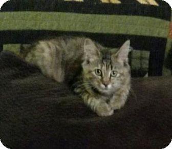 Domestic Longhair Cat for adoption in Warren, Ohio - Jo