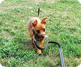 Dachshund/Yorkie, Yorkshire Terrier Mix Puppy for adoption in Columbia, Maryland - Elroy Jetson - teeny tiny!!