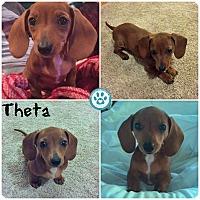 Adopt A Pet :: Theta - Kimberton, PA