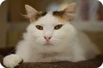 Domestic Shorthair Cat for adoption in Chattanooga, Tennessee - Nadia