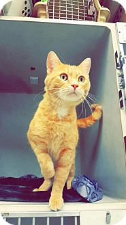 Domestic Shorthair Cat for adoption in Chaska, Minnesota - Garcia