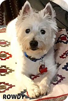 Westie, West Highland White Terrier Dog for adoption in Frisco, Texas - ROWDY HAS BEEN ADOPTED