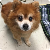 Adopt A Pet :: Jax - Lowell, MA