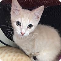 Adopt A Pet :: Prada - Sarasota, FL