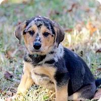 Adopt A Pet :: PUPPY CASH - Hagerstown, MD