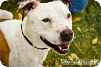 American Pit Bull Terrier Dog for adoption in Phoenix, Arizona - Draiman