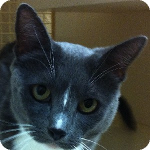 Domestic Shorthair Cat for adoption in Gilbert, Arizona - Cyndal
