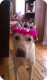 Labrador Retriever/Shar Pei Mix Dog for adoption in Bedford, Virginia - Tila