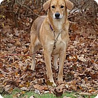 Adopt A Pet :: Bella - Retriever mix - Toronto/Etobicoke/GTA, ON