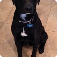 Adopt A Pet :: Brisket - Lewisville, IN