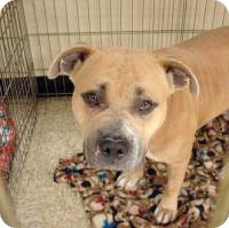 Bulldog Mix Dog for adoption in Las Vegas, Nevada - Lucy Ann