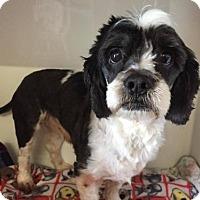 Cocker Spaniel Dog for adoption in Spartanburg, South Carolina - Chipper- HW +