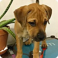Adopt A Pet :: Penny - Phoenix, AZ