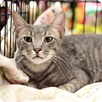 Domestic Shorthair Cat for adoption in Gainesville, Virginia - Zorro