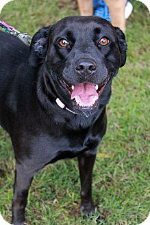 Labrador Retriever Mix Dog for adoption in Youngsville, North Carolina - Sweetie Pie