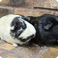 Adopt A Pet :: Minnie and Piglet - Benbrook, TX