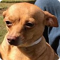 Chihuahua Dog for adoption in Orlando, Florida - Izzy