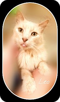 Domestic Longhair Cat for adoption in Ocala, Florida - Leo-DECLAWED